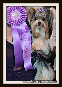 Beautiful International Champion Biewer Yorkie, we breed for beauty, size and structure. champion yorkies for sale, yorkie puppies for sale in va