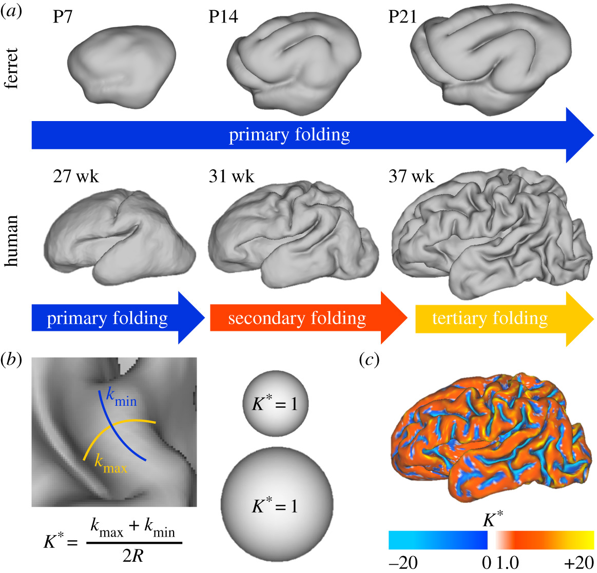 Mechanics Of Cortical Folding Stress Growth And Stability Philosophical Transactions Of The Royal Society B Biological Sciences