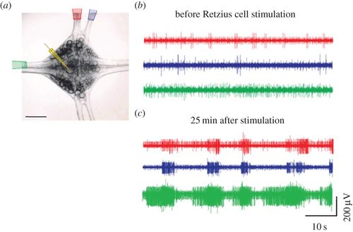 Serotonin release from the neuronal cell body and its long-lasting