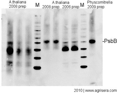 Agrisera Western Blot recommendations, troubleshooting and protocol - - western blot