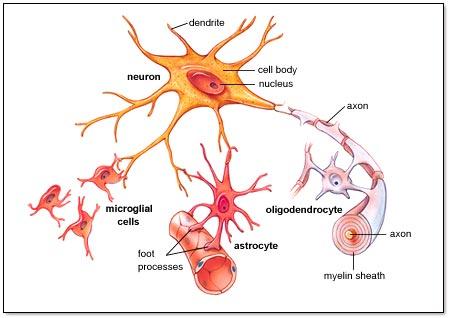 Glial Cell Activation RSD Advisory- Where Chronic Pain