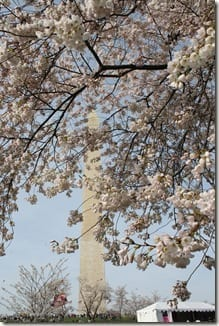 IMG 6666 thumb Cherry Blossom Festival