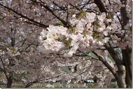 IMG 6689 thumb Cherry Blossom Festival