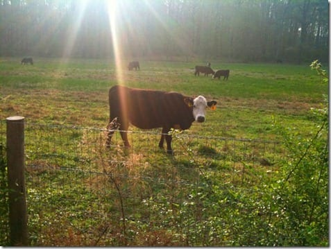 cow thumb Faith Fitness Fun Runs and Eats too