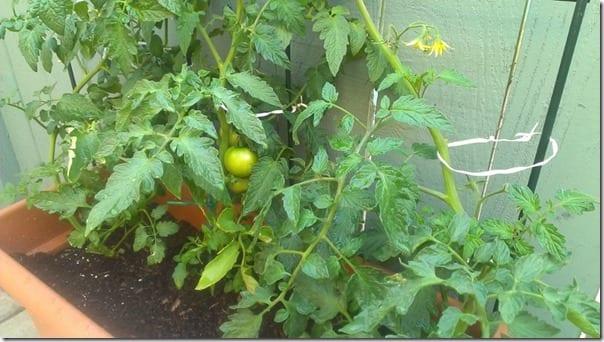 my little tomato 800x450 thumb Random Running Blog