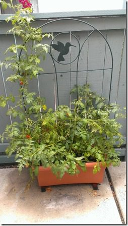 my patio garden tomato plant 450x800 thumb Just the Tip: Safety Reminder