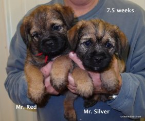 Border Terrier Boys