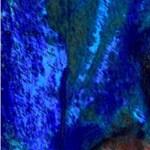 bluegumcover