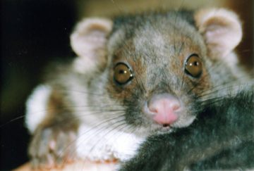 ring-tail possum