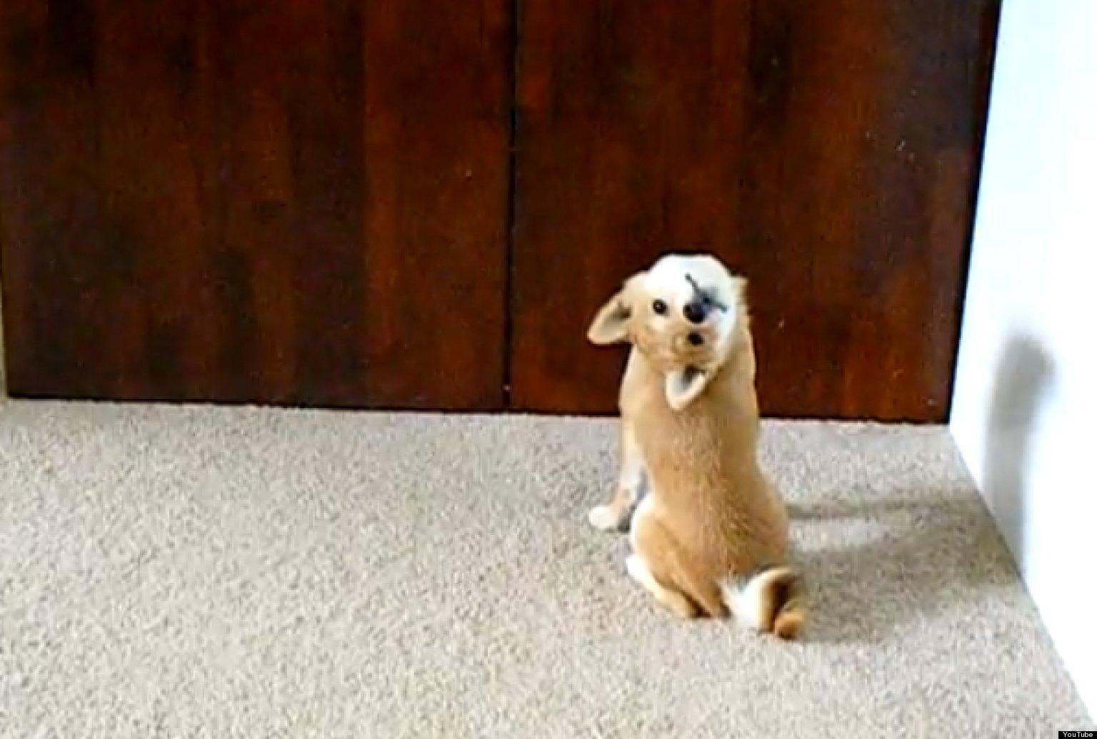 Shiba Inu Cute Desktop Wallpaper Shiba Inu Puppy Imitates A Bat Backwards Look Is Adorably