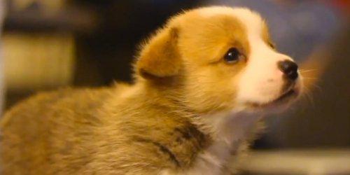 Medium Of Cute Corgi Puppies