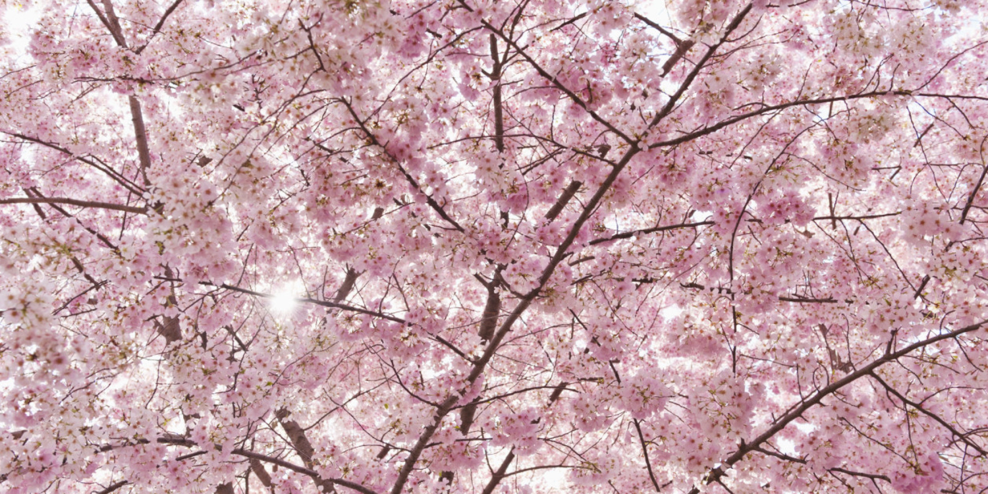 Cute Pink Nation Wallpaper Pretty In Pink It S Cherry Blossom Time In Japan Huffpost