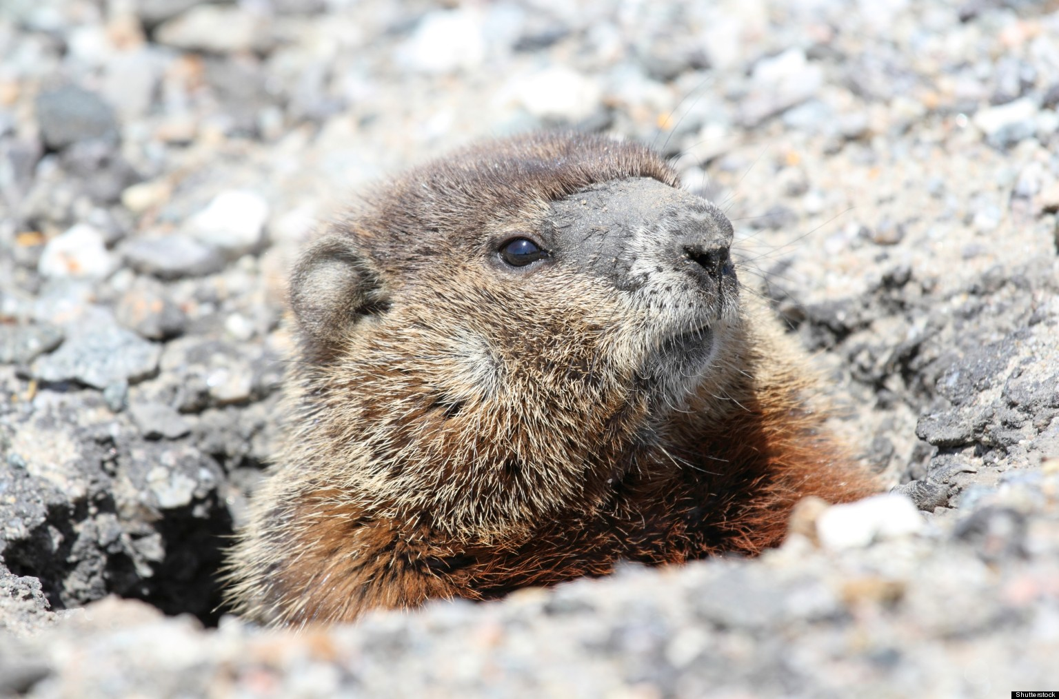 Groundhogs Groundhogs In Your Garden What You Should Know About The