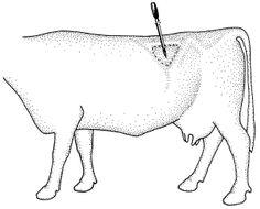 diagram of dexter cattle