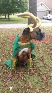 The Avengers Loki Dog Costume | Blame, Names and Halloween ...