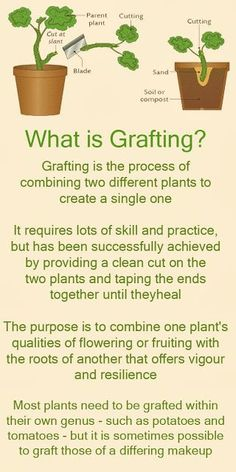 How To Grafting Fruit Trees | Graft Meaning (Urdu/Hindi) | how to grow plants at home ...