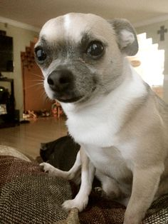 Cute Baby Boy Desktop Wallpaper Chugs Chihuahuas And Pug On Pinterest