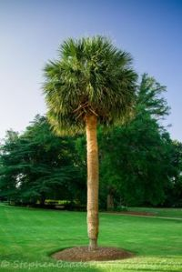 1000+ images about Palmetto Tree on Pinterest | South ...