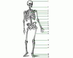 skeleton diagram of the entire body