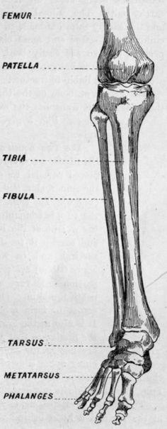 fibia diagram