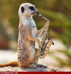 Musical Birthday Quotes Wallpapers 1000 Images About Meerkat On Pinterest Animals Mammals