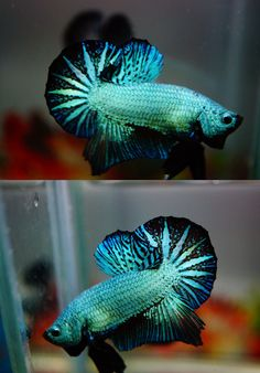 Fish For Sale on Pinterest | Freshwater Aquarium Fish, Aquarium Fish