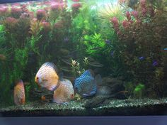 Discus Fish For Sale on Pinterest   Discus Fish, Fish For Sale and