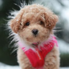 Image For Poochon Bichpoo What To Expect From A Bichon Frise