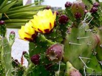 prickly pear arizona - Google Search | Tattoos | Pinterest ...