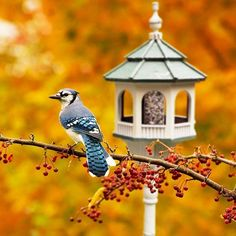 Fall Bird Feeder Wallpaper Goldfinch Or Wild Canary This Handsome Little Finch The