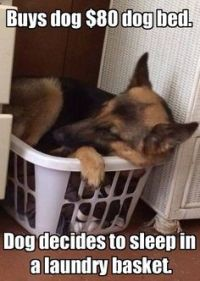 1000+ images about German Shepherd Dogs on Pinterest ...