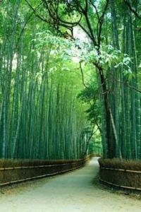 privacy trees on Pinterest | Bamboo, Natural Privacy ...