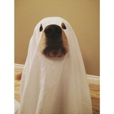 Halloween, Pets and Boxers on Pinterest