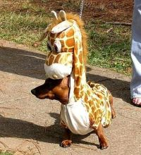 Giraffes, Dachshund dog and Dog costumes on Pinterest