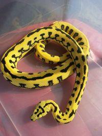 Jungle Jaguar Carpet Python   Snake cia   Pinterest ...