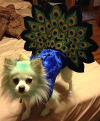 Peacock dog Halloween costume Pomeranian | Poms ...
