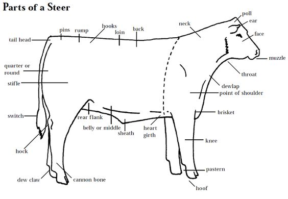 beef steer diagram