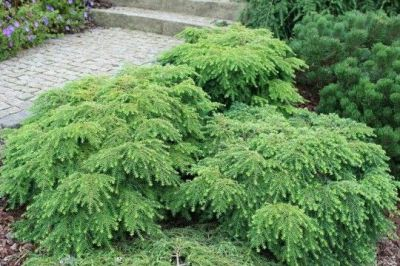 Tsuga canadensis 'Jeddeloh' | Awesome conifers | Pinterest