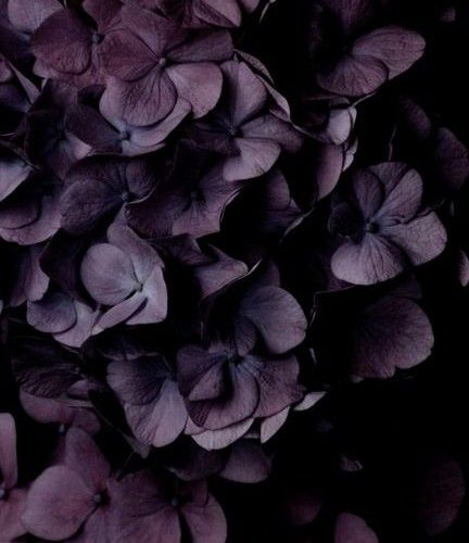 Dark Purple Hydrangea Pinterest • The World's Catalog Of Ideas