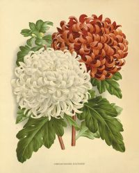 Chrysanthemums art flower art print botanical art prints ...