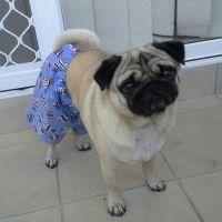 pug clothes SHORTS many fabrics by MyPugsWardrobe on Etsy ...