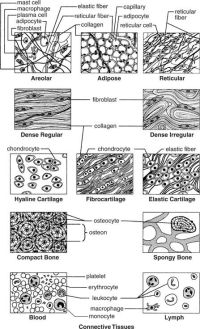 connective tissue types | Body Systems - Tissues ...