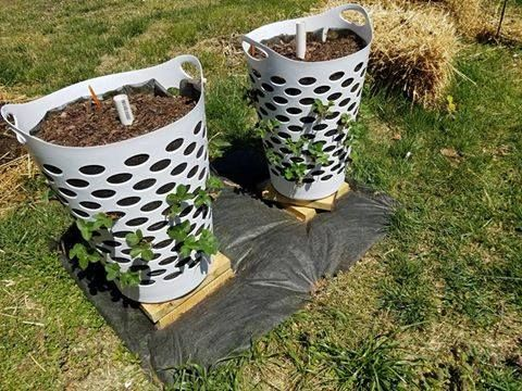 Using Cheep Plastic Clothes Hamper To Grow Strawberries. With A