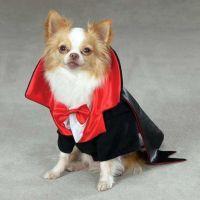 Vampire dog wants a treat! #dog #halloween #costume # ...