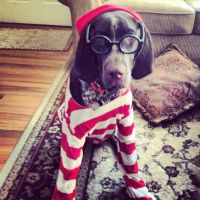 Gsp German shorthaired pointer Ruger Where's Waldo? dog ...