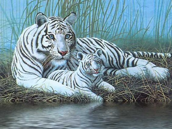 Bing Animated Wallpaper Tiere Gt Tiger Wei 223 Er Tiger Mit Jungtier Gb Pics Gb