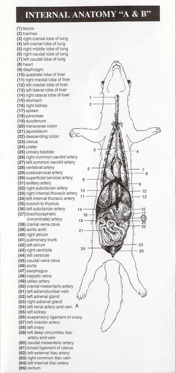 anatomydiagram ferret anatomy diagram squirrel skeleton diagram