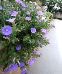 Nice, Sun and Morning glories on Pinterest
