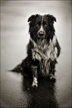Border Collie: James Walker Photography: