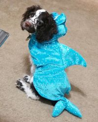 Loki, my cocker spaniel puppy in his shark costume. He ...